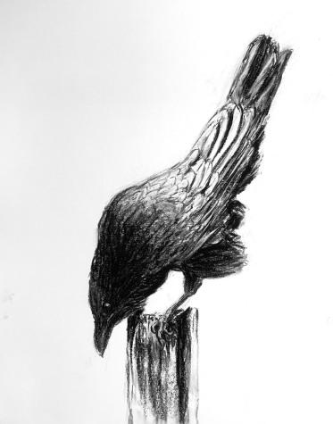 Inquisitive Raven